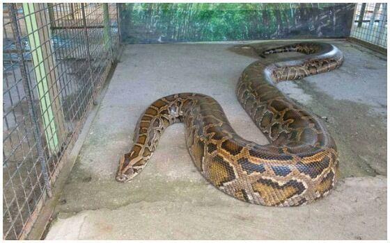 Ular Terbesar Di Dunia Ular Raja Python 381c3