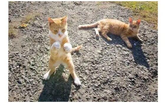 Potret Kucing Bertingkah Seperti Manusia Kucing Berantem D680d