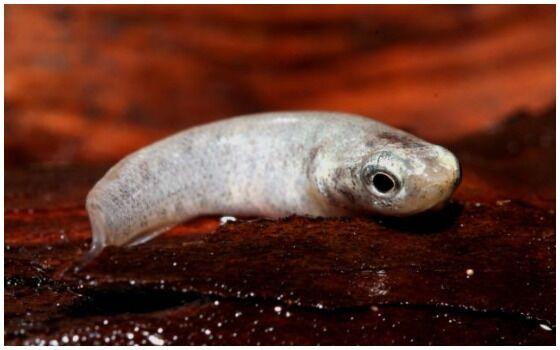 Ikan Yang Bisa Napas Di Daratan Mangrove Rivulus 7fe8c
