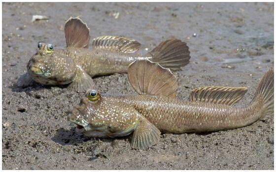 Ikan Yang Bisa Napas Di Daratan Mudskipper 11f39