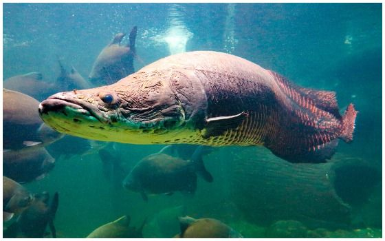 Ikan Purba Yang Masih Hidup Di Indonesia Ikan Arapaima 449b3