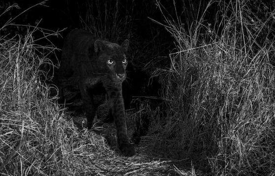 Panther Hitam E2d11