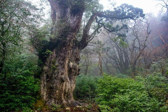 Pohon Terbesar Di Dunia 69371