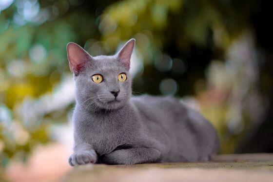 Kucing Busok Madura 1 2b09b
