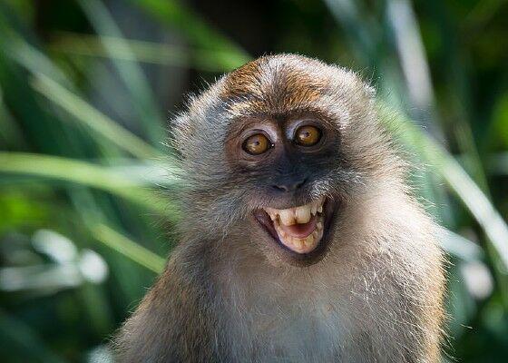 Monyet Cynomolgus D9b4f