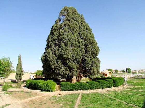 Pohon Tertua Di Jawa Abaaf