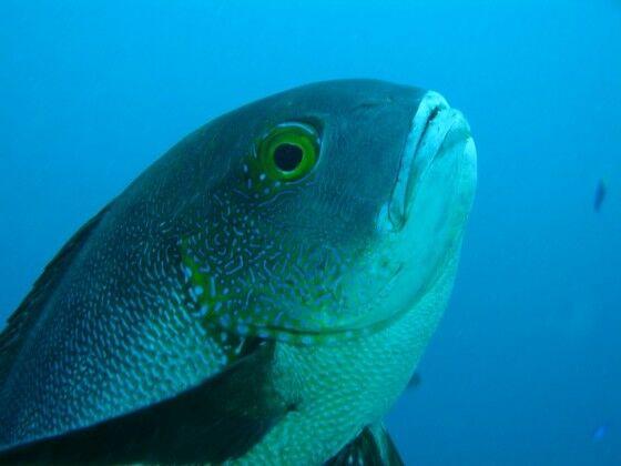 Ikan Kakap Tertua Di Dunia F46da