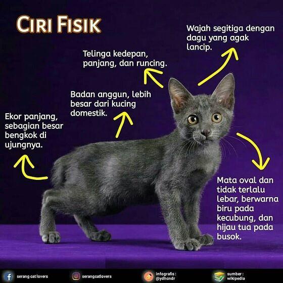 Kucing Busok Madura 2 9a32f