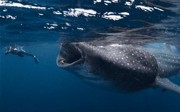 Ikan Paus 47975