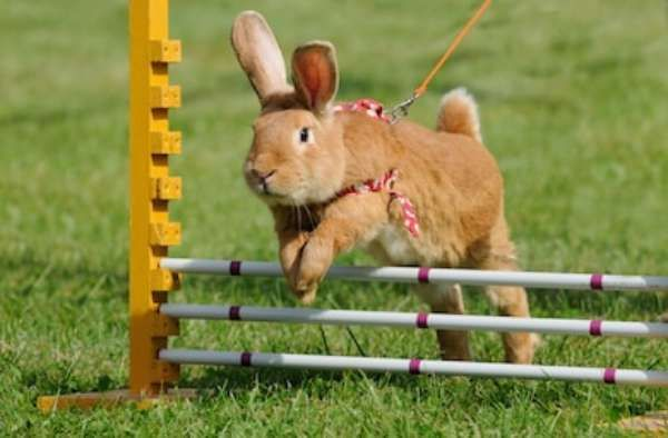Rabbits Jump Competition Rabbithop Rabbit 260nw 85786123 Picsay 047c5