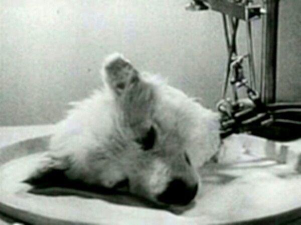 Transplantasi Kepala Anjing 8c4a2