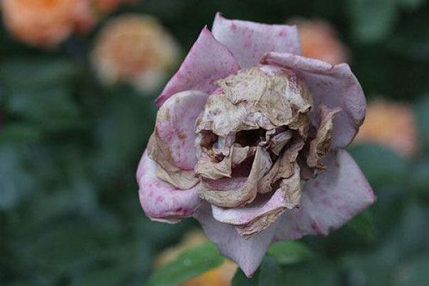 Bunga Tengkorak
