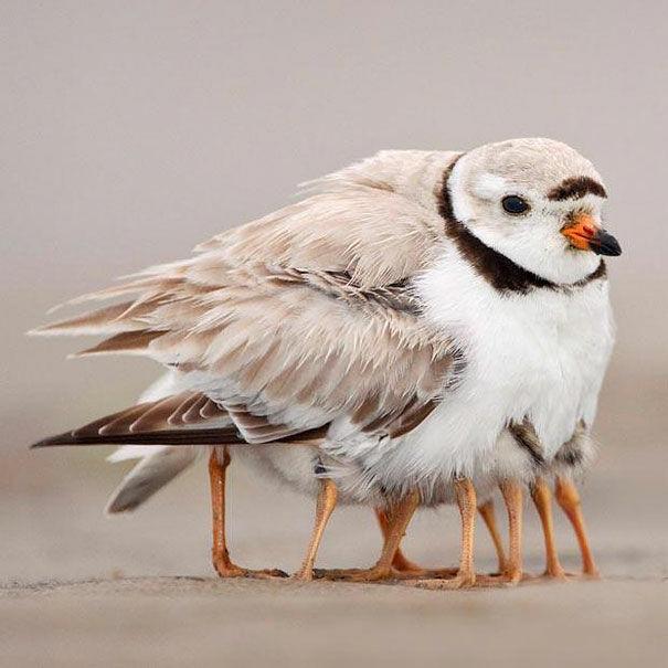 Burung Berkaki Seribu