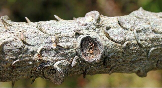 Pinus Wollemi Bab45