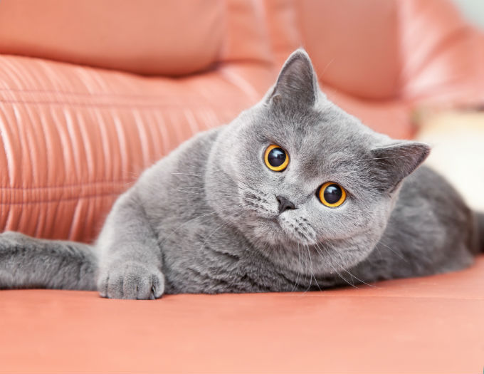 British Shorthair 0394c