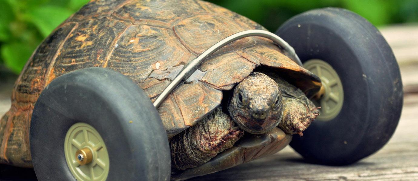 Kura-kura Ini Berjalan dengan Roda Setelah Kehilangan Kakinya