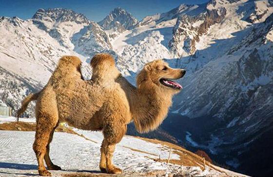 The Golden Camel Foto Photoshop Unik Gabungan Hewan