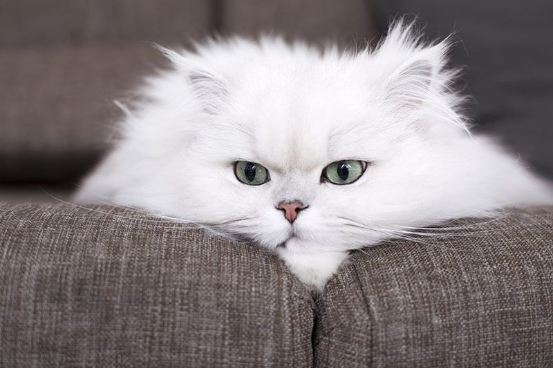 Persian Cat 8fec2
